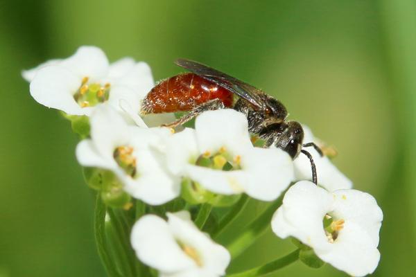 Sphecodes bee on Alyssum.