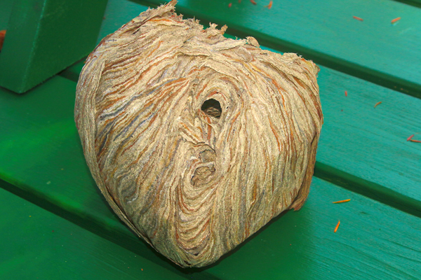 The opening of the wasp nest is near the bottom.
