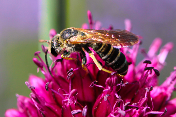 A brown-winged furrow bee, Halictus farinosus, on a drumstick allium flower.