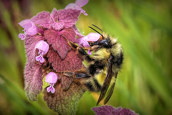 This bumble looked so pretty on the red dead nettle, a perfect bee on a perfect flower at Scatter Creek.