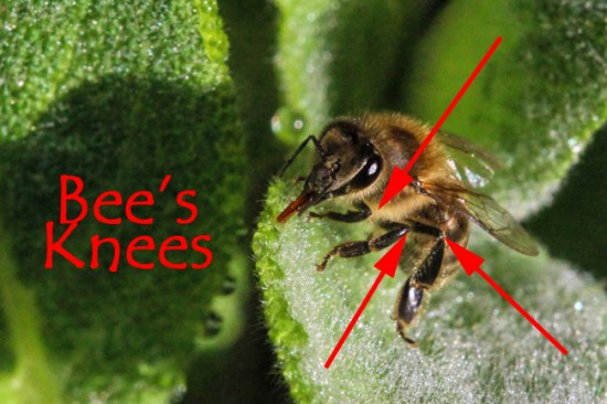 The arrows point to the joints between the femur and the tibia on a honey bee worker's legs. You can think of these as the bee's knees.