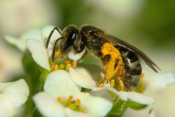Loose pollen: Most bees, like this Lasioglossum, carry pollen loosely in patches of hair on the legs, abdomen, and sides of the thorax. This pollen is readily available for pollination.