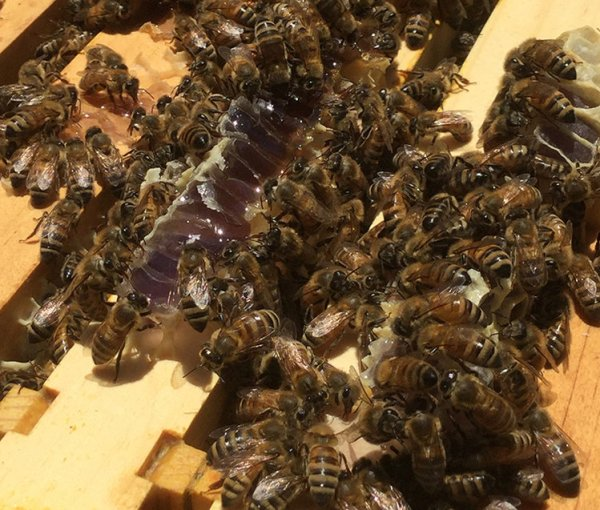 Here is some of the purple honey still in the hive. Photo courtesy of Flying Pig Apiary.