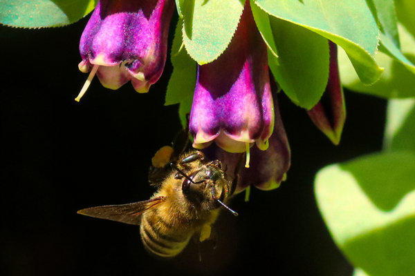 This honey bee is foraging on honeywort. The bumbles like this plant as well.