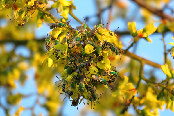 A mating lek of <i>Agapostemon melliventris</i> bees, known as honey-tailed striped sweat bees, gathers in a goldenrain tree. &copy; Stonebird.