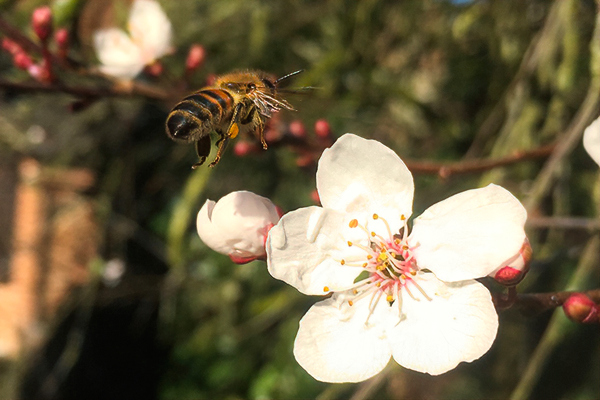 Alistair also caught an awesome shot of a honey bee in a flowering cherry. © Alistair Dunbar.