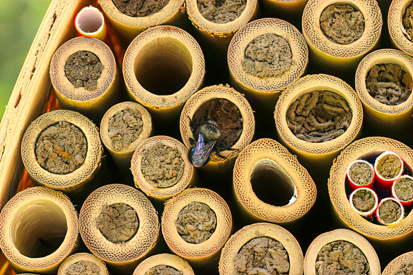 With good management, bamboo tubes work well for many types of bees.