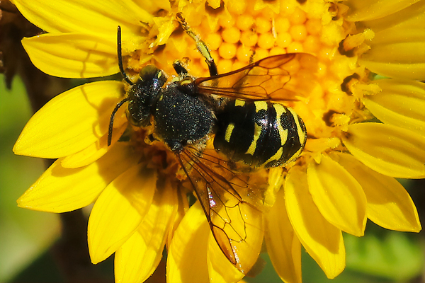 Dianthidium bees, frequently mistaken for wasps, collect nectar, pollen, and resin from flowers in the Asteraceae family. The females build exposed nests from small pebbles, which they glue together with the resin.