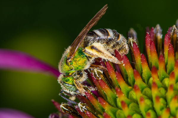 Agapostemon virescens: Although there are many species of green-striped sweat bees, the females usually have green abdomens. However, in this wide-spread species, the females have black and white striped abdomens, making them easy to identify.