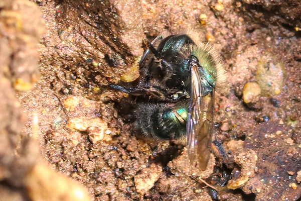 Osmia lignaria propinqua: This mason bee discovered a damp hole in the garden, an excellent place to collect mud for partitions between egg chambers.