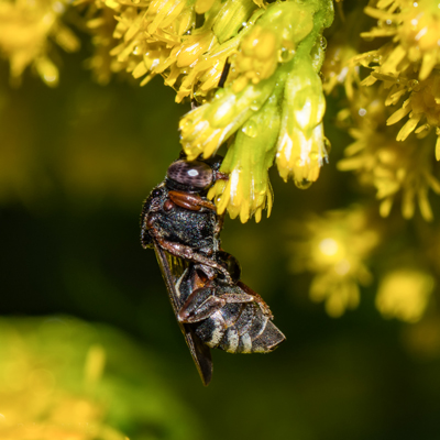 Sleeping in the flowers: This Epeolus cuckoo bee is catching forty winks by clamping down on a flower. Amazingly, they don't fall off. © Robert Noble.