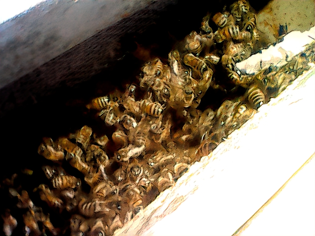 This shows the cluster of bees inside our green hive feeder frame. It is our most populous hive. Lots of bees. This hive is ready for another sugar cake.