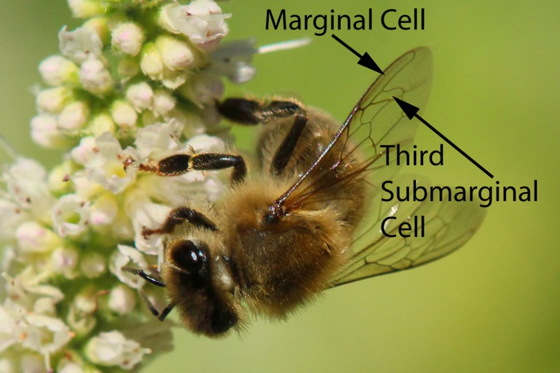 Wing veins and the cells they form offer excellent bee identification at the genus level. The wings of honey bees are distinctive, especially the long, sausage-shaped marginal cell and the irregular third submarginal. © Rusty Burlew.