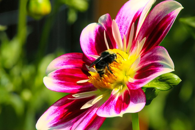 Bumble bee on dahlia. All photos by Rusty Burlew.