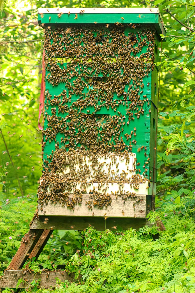 The backyard hive just after the first swarm left.