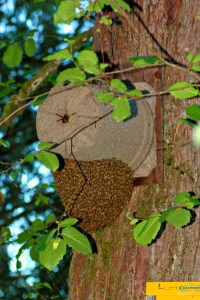 The swarm on the inside moved in on the prior day. I was preparing to remove it when the second one coalesced beneath.