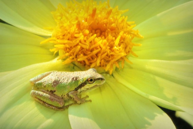 Tree frog: I have found very little information on pollination by amphibians, but small frogs that hunt from flowers are often covered in pollen and no doubt contribute to pollination as they hop from flower to flower.