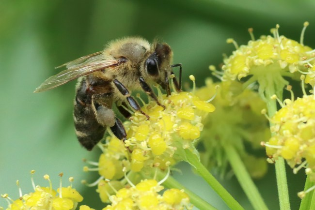 Honey bees are fond of lovage flowers, often covering the blooms. All photos by Rusty Burlew