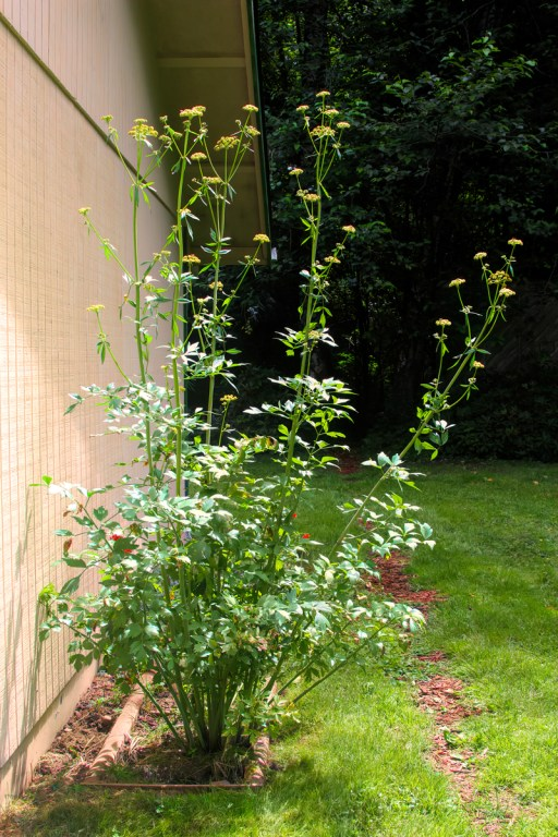 This lovage is about 8 feet tall, so leave plenty of space for it to grow.