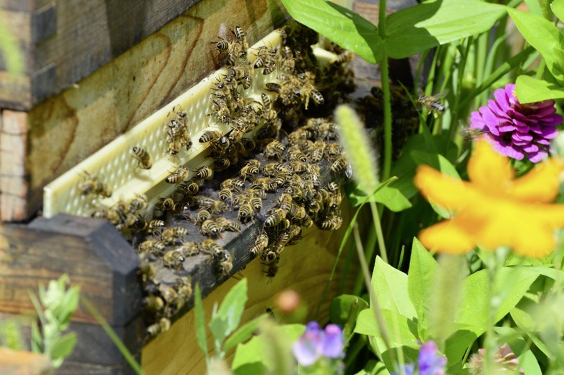 My new best beekeeping advice: Every colony is an individual. A landing board covered with bees and surrounded by flowers.