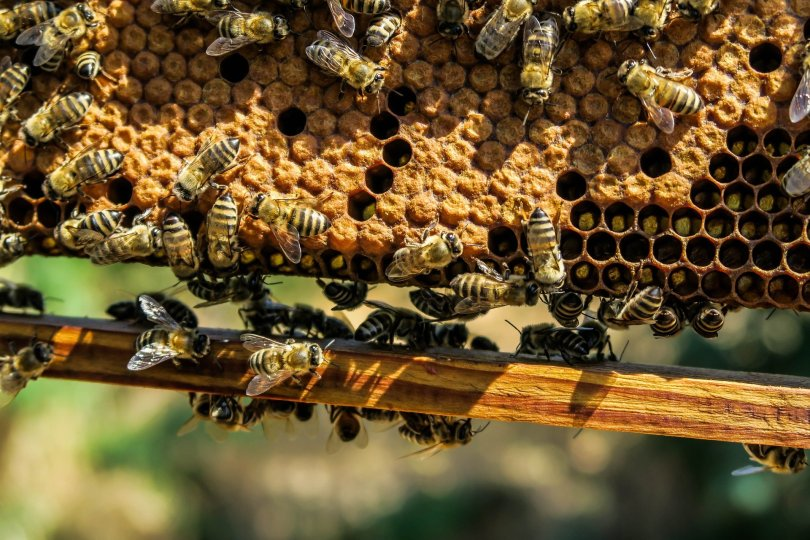 Thiking like a scientist avoids mistakes. Photo shows a frame of capped brood and attendant worker bees.