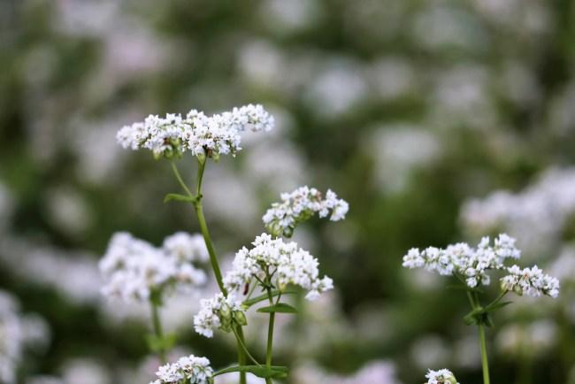 White buckwheat flowers in full bloom.