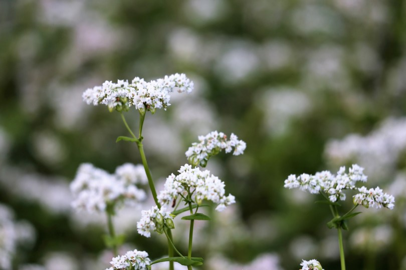 White buckwheat flowers in full bloom.