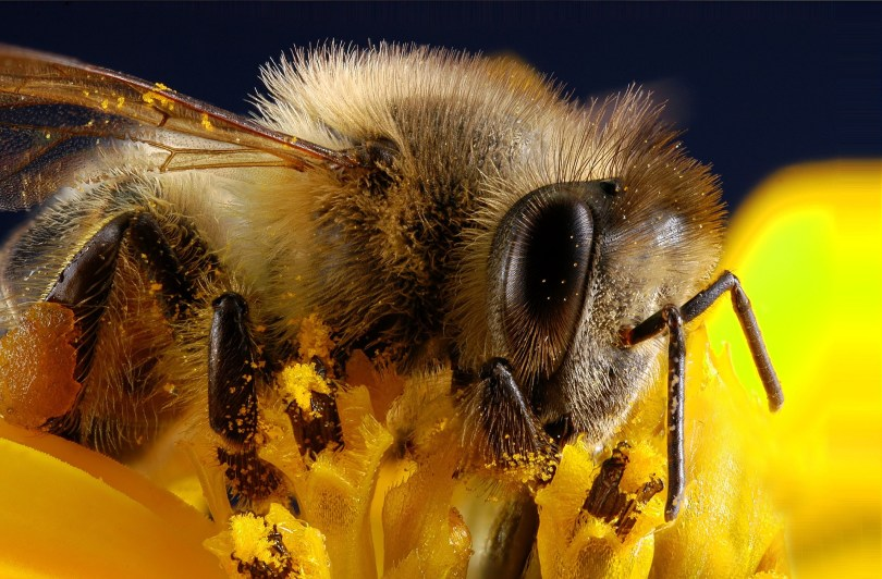 Honey bee collecting pollen. Natural  pollen is always best, but sometimes the supply is short.