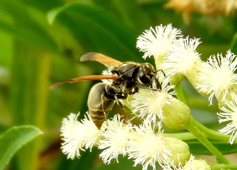 The Mexican honey wasp, Brachygastra mellifica, ranges from Texas to Nicaragua.