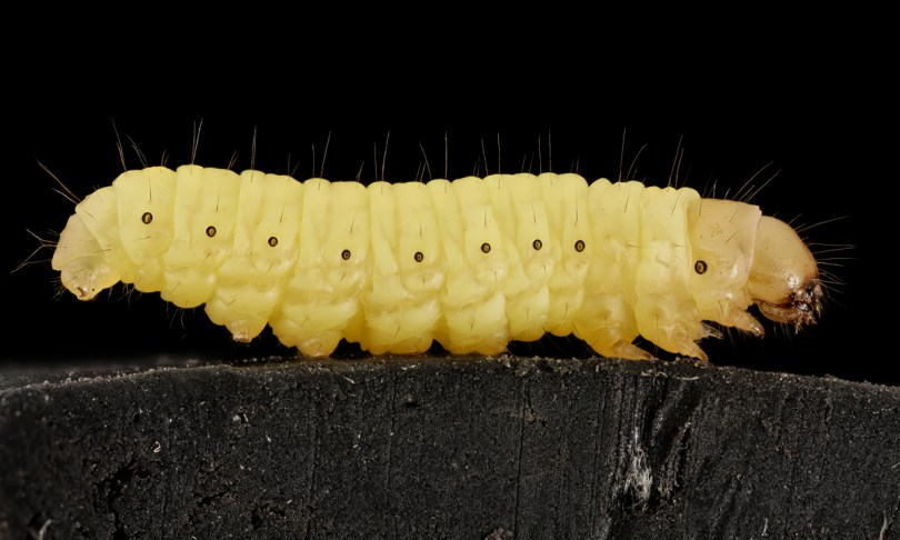 Wax moth larvae, like this Galleria mellonella, make a high-protein snack.