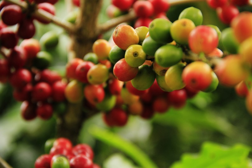 Volcanic soils at high altitudes are especially appreciated by coffee growers.