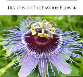 Passion Flower Religious Flower Jesus Crucifixion Maypop Fruit Vine
