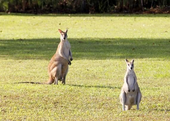 australian wallabees