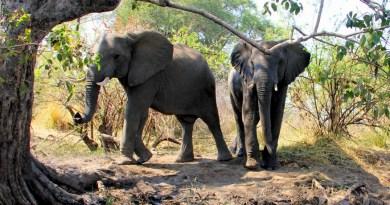 Elephant Encounter on the Zambezi River [VIDEO]