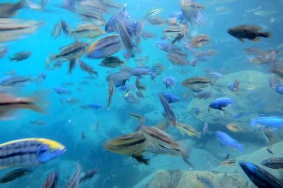 Cichlid fish of Lake Malawi