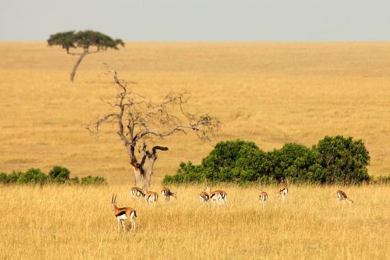 Impala in the Masai Mara, kenya
