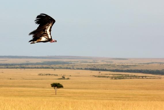 Vultures in the Masai Mara, Kenya