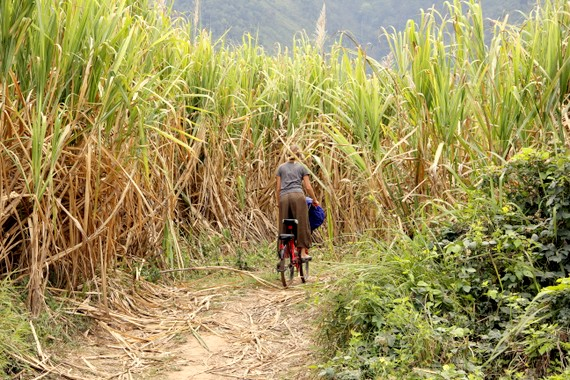 Biking the sugarcane fields of Laos