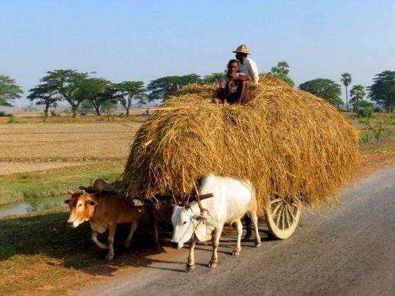 Ox of Myanmar