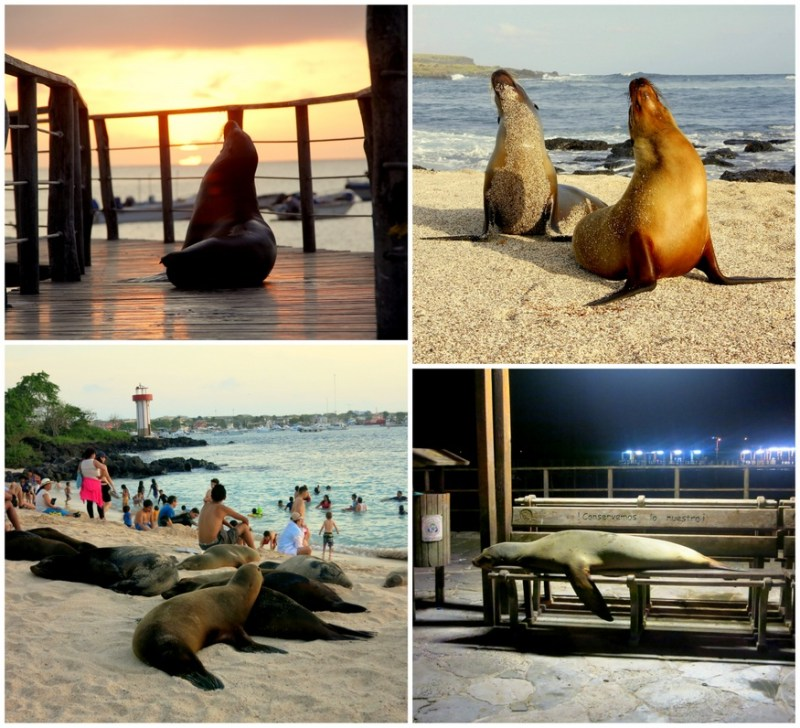 Sea Lions Rule The Galapagos