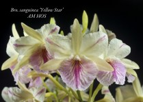 Honolulu Orchid Society Award of Merit 80.0 points H&R Nurseries 09Jun11 Aiea Orchid Club Show