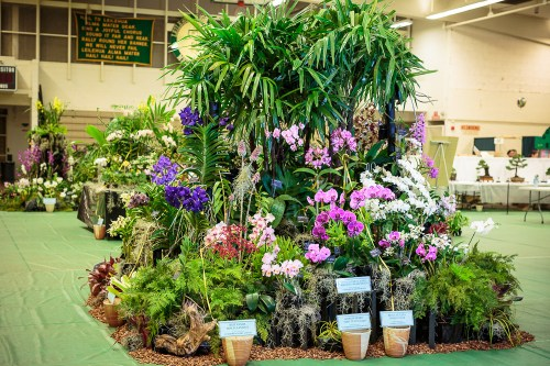 HOS' winning display at the Kunia Orchid Show had many outstanding plants.  Several plants in the display won trophies.  Click on the photo for a larger view.
