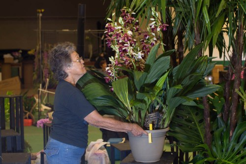 Williette Wong carefully places the large Phaius in the display.
