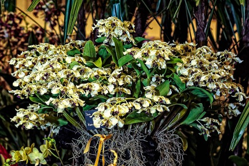 This Den. atroviolaceum received a Certificate of Cultural Merit (CCM) scoring 85.3 points.  The plant was displayed by Ken and Aileen Ching of Mililani.  The plant was also selected as the Best Flowering Specimen Plant. in the Show.