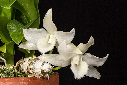 Den. parishii var. alba.  This is a first bloom for a seedling that came from a compot that I purchased from H&R Nurseries a couple of years ago.