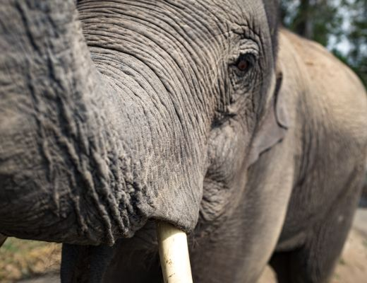An elephant reaches for the camera with its trunk.
