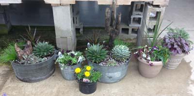 Succulent Pail Sedum Agave