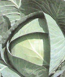 Cabbage 'Bravo'