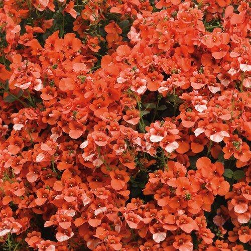Diascia 'Flirtation Orange'