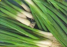 Evergreen White Bunching Onions